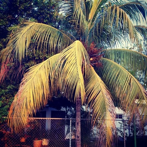 Coconut tree outside of my house.