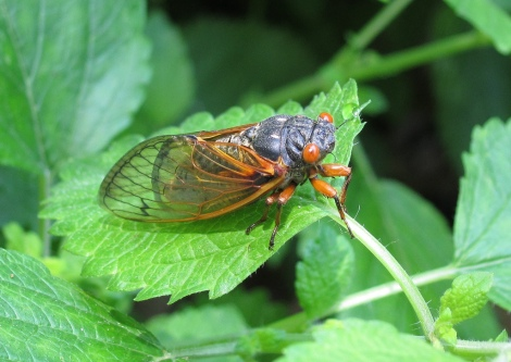 Cicada photo cred: http://www.flickr.com/photos/sduck409/5700514320/sizes/l/