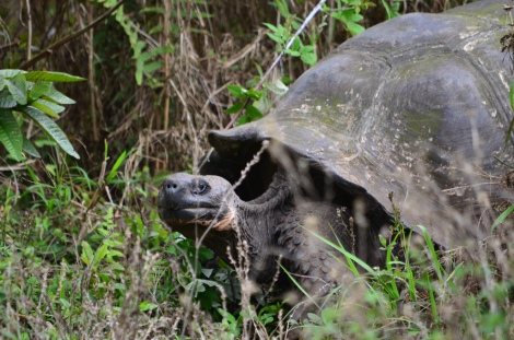I can't wait to see the Giant Tortoises! photo cred https://www.flickr.com/photos/krawczuk/9336177842/in/photolist-fe1mpu-9HhdCF-9HhdPi-9JZBXN-9Hk9Do-9HhgFK-9HhdV4-9Hhi7p-fdZZMJ-fe11Vf-8qvMYe-8qvC3K-9JZAU7-8qsigw-9JBeXv-9JZDHw-9JZCHo-9JZE4h-9JWNA2-9JWQ2x-9JZBzS-9JZALq-9JZCUw-9JWNJp-9JZBMY-9JZD55-9JZAnm-9JZBh1-9JWNsg-9JWPo4-9JZA9L-9JZAvL-9Hk9Jj-9HhdJ8-bPFwKZ-8quoZf-8qpUMc-9JZAD3-9JWL9g-9JWMbF-9JWKSH-9JZC5Q-9JZzSG-8qvXnV-8qvn29-8qvFBt-8qvAee-8qySks-8qo45e-8qpV82