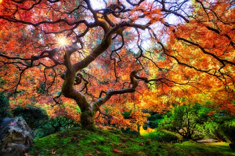 The beautiful Japanese Maple in the Japanese Garden in Portland https://www.flickr.com/photos/michaelmattiphotography/10517564194