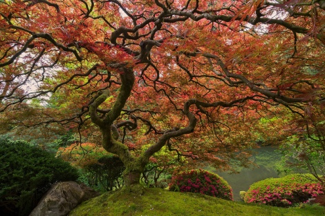 Famous Japanese Maple in the Portland Japanese Garden. Photo cred https://www.youtube.com/watch?v=T0l_6Zw1828&list=PLgbj21mZsefFBOG4-PLiq7pq5ca7BotL-
