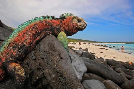 A marine iguana found only in the Galapagos photo cred https://www.flickr.com/photos/45325473@N04/6885480972/in/photolist-burTBb-dMDnNg-pnHmd7-qqAgnf-qooEQD-qvTLhV-5yXoVD-8SoMMF-RYeJR-jbBnNb-6bsWfM-8BLGt5-qdawn8-qo9VDA-dhRpBV-9qnhLm-7gQgvR-6aH44g-7Nx19M-6aH41r-6aMcqo-cAPtgS-6aMcEJ-bqcnUc-7hAxbW-aahRhU-nixU6-oDYaCy-5V2bZ9-5DQYim-gLawQi-8bwnq-9GQC9P-6aMc83-a1xvGe-aahSZJ-7sFZt1-8ahCVY-8hhh85-noZSHg-dgwDkn-7HJJrA-6R8RwT-E49z8-7CYYmD-PFLXu-7jr7v2-ohVCrN-aaf4Va-9GorP3