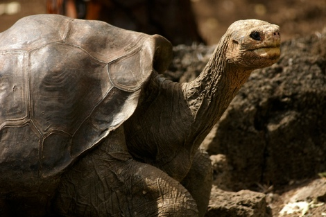 Lonesome George is gone, but there are still many other giant tortoises to be found in the Galapagos